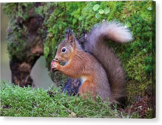 Squirrels Canvas Print - Red Squirrel by Ray Cooper