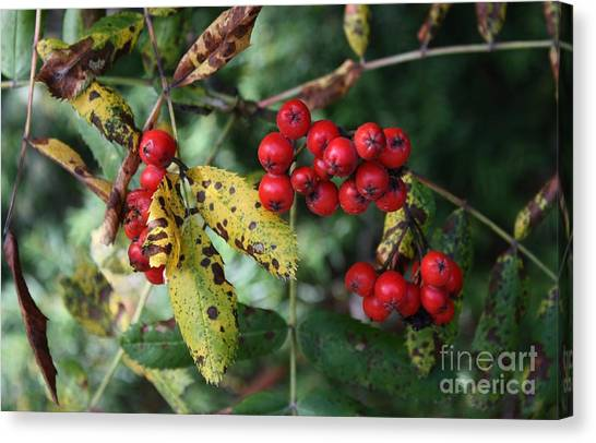 Wild Berries Canvas Print - Red Summer Berries - Whistler by Amanda Holmes Tzafrir