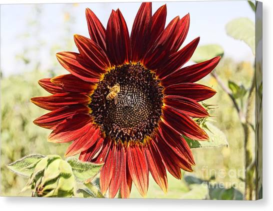Red Sunflower And Bee Canvas Print