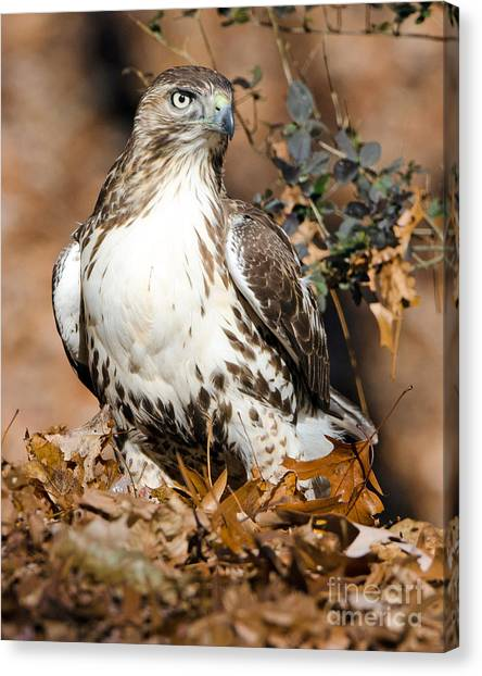 Red Tail Daze Canvas Print