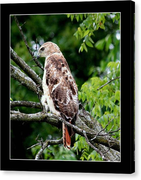 Red Tail Hawk 1 Canvas Print by Rosanne Jordan