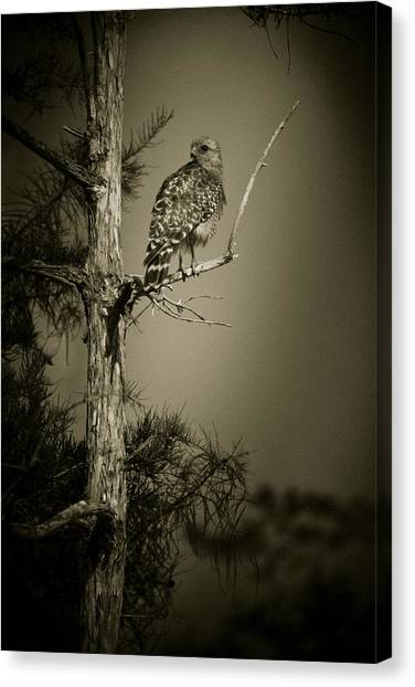 Red Tail Hawk On Loop Road Canvas Print