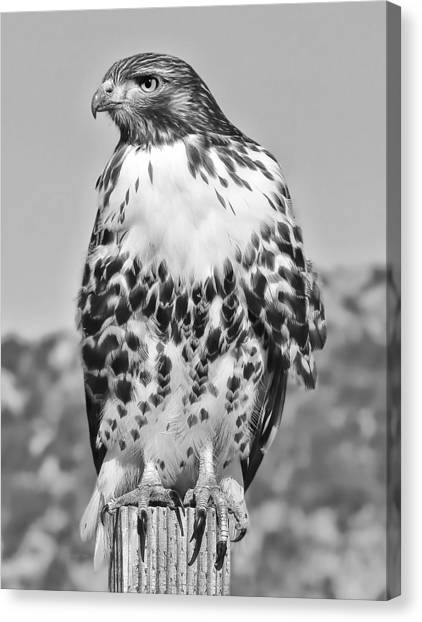 Red Tail Hawk Youth Black And White Canvas Print