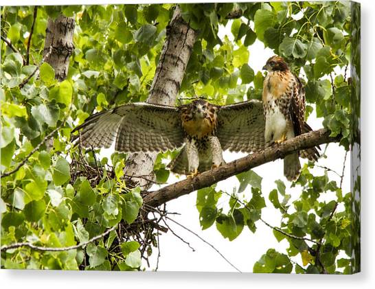 Red-tailed Fledges Canvas Print by Jill Bell