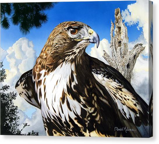 Da141 Red Tailed Hawk By Daniel Adams Canvas Print