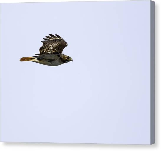 Red-tailed Hawk In Flight 1 Canvas Print