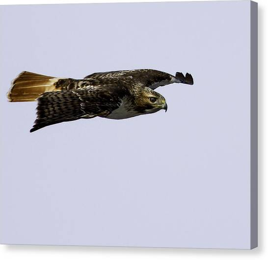 Red-tailed Hawk In Flight 2 Canvas Print