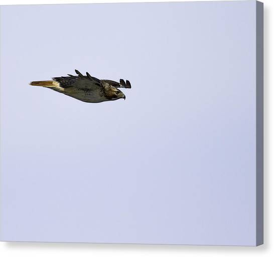 Red-tailed Hawk In Flight 3 Canvas Print