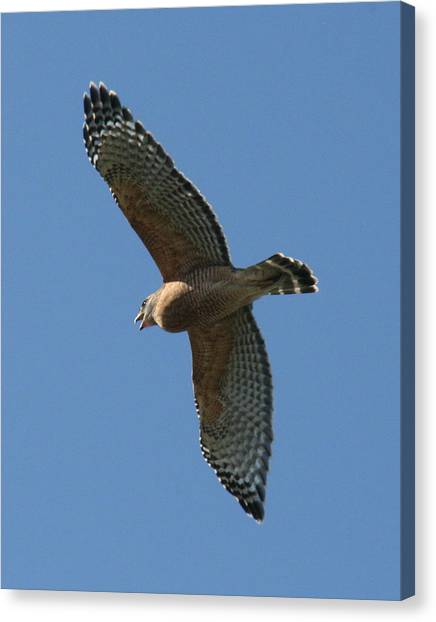 Red Tailed Hawk Canvas Print by Jeff Wright