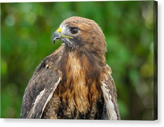 Red-tailed Hawk Close-up Canvas Print