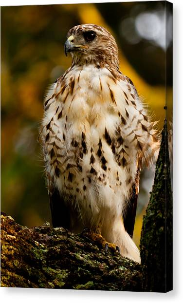 University Of North Carolina Wilmington Uncw Canvas Print - Red-tailed Hawk by Louis Shackleton