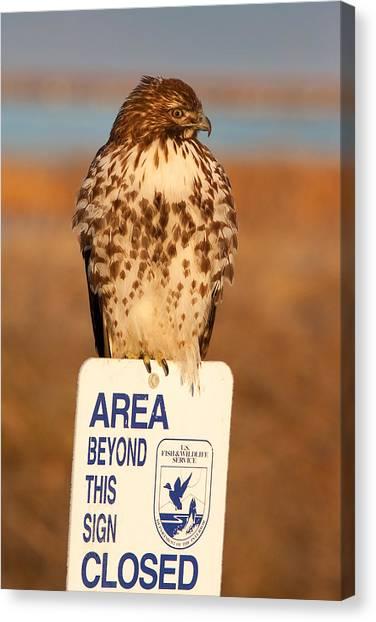 Red Tailed Hawk Lower Klamath National Wildlife Refuge Northern California Canvas Print