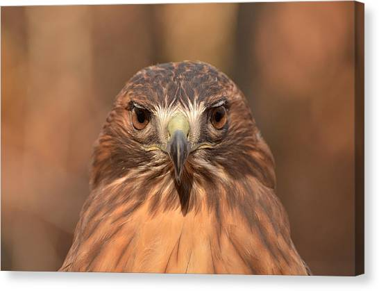 Red-tailed Hawk Stare Canvas Print by Nancy Landry
