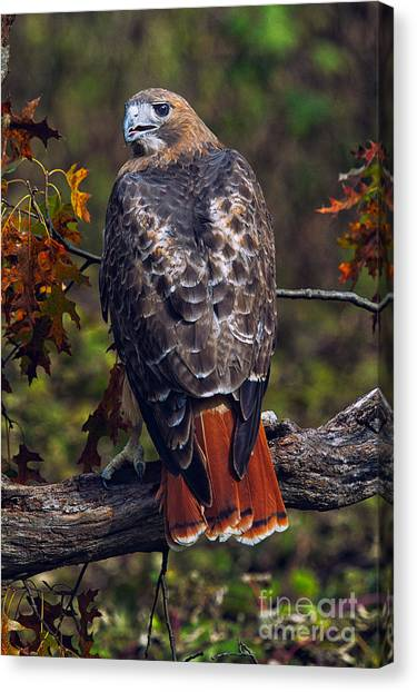 Hawks Canvas Print - Red Tailed Hawk by Todd Bielby