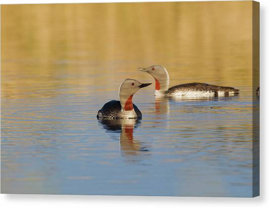 Loons Canvas Print - Red-throated Loon Pair by Ken Archer