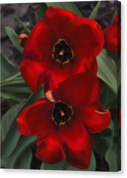 Red Tulip Pair Canvas Print