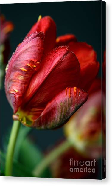 Tulip Canvas Print - Red Tulip With Dew by Nailia Schwarz