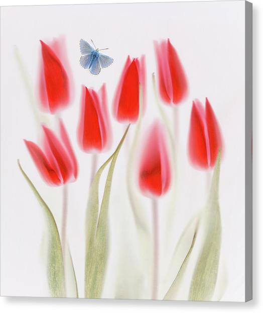 Summer Flowers Canvas Print - Red Tulips by Brian Haslam