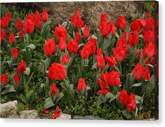 Red Tulips Canvas Print by Maeve O Connell