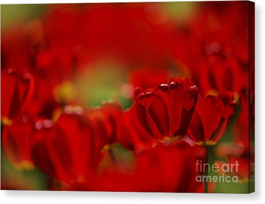 Red Tulip Canvas Print - Red Tulips by Nailia Schwarz