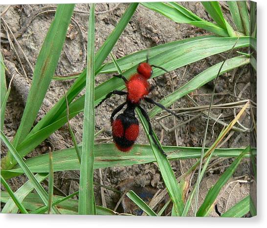 Red Velvet Ant Canvas Print