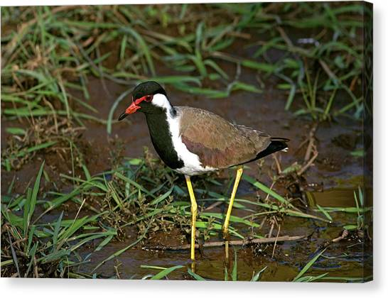 Lapwing Canvas Print - Red-wattled Lapwing by Tony Camacho/science Photo Library