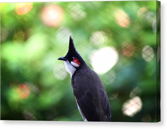 Red Whiskered Bulbul Canvas Print by Kunal Ghate