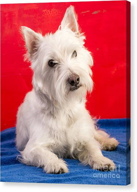 Calm Down Canvas Print - Red White And Blue Westie by Edward Fielding