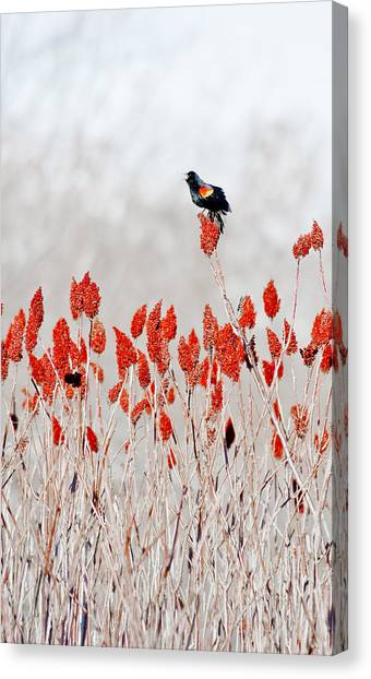 Red Winged Blackbird On Sumac Canvas Print