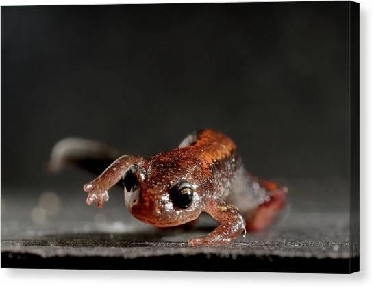 Salamanders Canvas Print - Redback Salamander Plethodon Cinereus by Aaron Ansarov