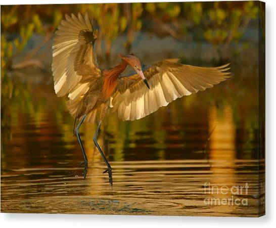 Reddish Egret In Golden Sunlight Canvas Print