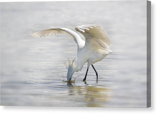 Reddish Egret White Morph Fishing. Canvas Print