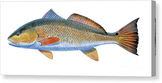 Fly Fishing Canvas Print - Redfish by Carey Chen