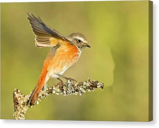 Flycatchers Canvas Print - Redstart (phoenicurus Phoenicurus by Photostock-israel