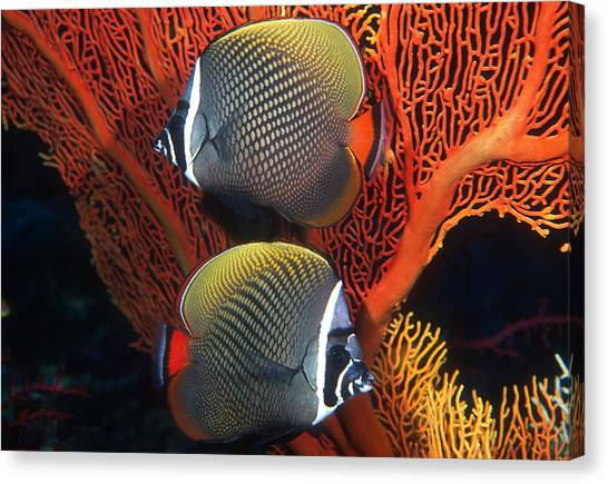 Redtail Butterflyfish Canvas Print by Greg Ochocki
