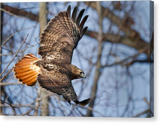 Hawks Canvas Print - Redtail Hawk by Bill Wakeley