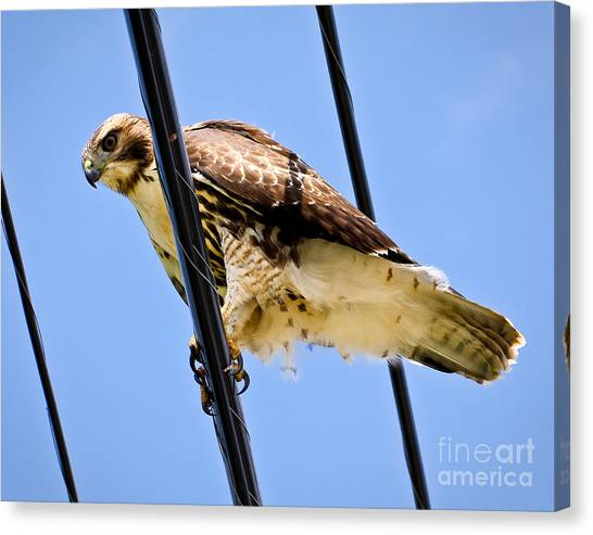 Redtailed Hawk Canvas Print