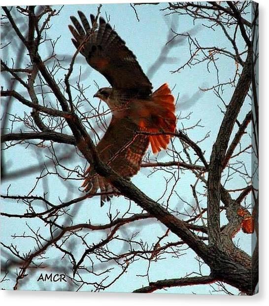 Hawks Canvas Print - Redtail Hawk, Orleans Ma #birdfreaks by Amy Coomber Eberhardt