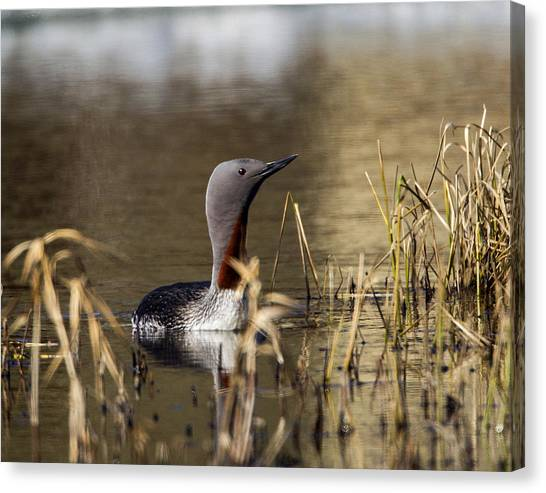 Redthroated Loon Canvas Print