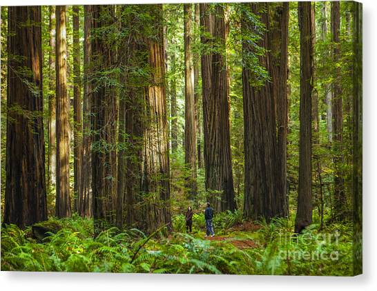 Redwood Forest Canvas Print - Redwood Forest by Diane Diederich