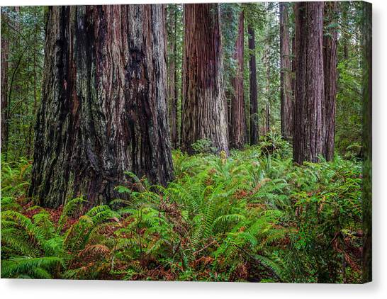 Redwood Sentinels Canvas Print by Mike  Walker