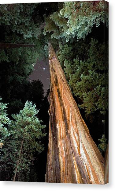 Redwood Forest Canvas Print - Redwood (sequoia Sempervirens) Trees by Bob Gibbons