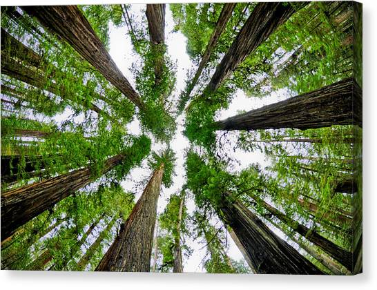 Redwood Skies Canvas Print