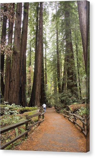 Redwood Trees Canvas Print