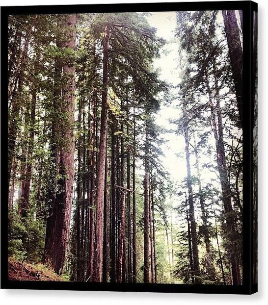 Redwood Forest Canvas Print - #redwoods #crazy #trees #huge #bayarea by Kenneth Van Doren