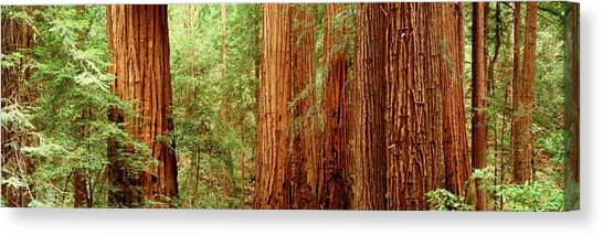 Redwood Forest Canvas Print - Redwoods Muir Woods Ca Usa by Panoramic Images