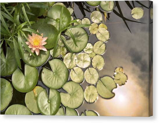 Reflected Light Upon Flowering Water Lilies Canvas Print
