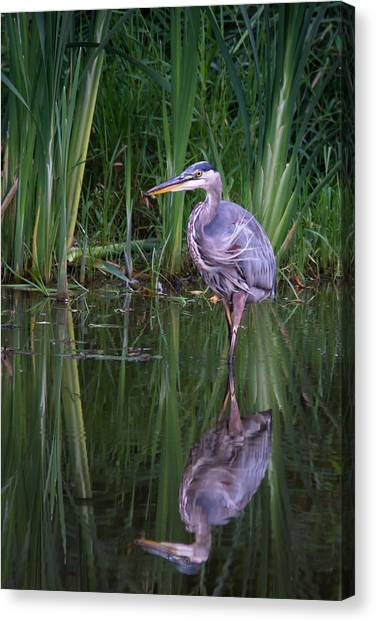 Reflections - Great Blue Heron  Canvas Print by Doug Underwood