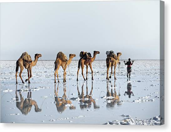 Camels Canvas Print - Reflections Of An Ancient Life by Trevor Cole