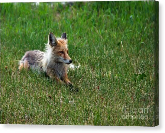 Bushy Tail Canvas Print - Relaxing Red Fox by Robert Bales